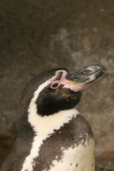 Free Portrait Of A Penguin Stock Images - 5138424