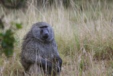Free Baboon Stock Photos - 5138463