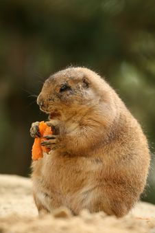 Free Prairie-dog Eating Carrot Royalty Free Stock Images - 5138509