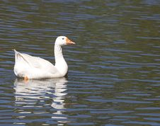 Free White Goose In Lake Royalty Free Stock Photography - 5138557