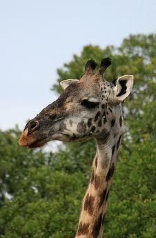 Free Giraffes 3 Royalty Free Stock Photos - 5138568