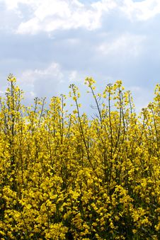 Free Rape Field Royalty Free Stock Photos - 5139158