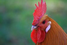 Free Rooster Stock Photo - 5139700