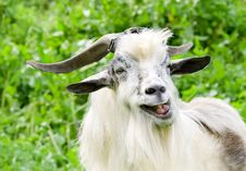 Free Male Goat Grazing Royalty Free Stock Image - 5139816