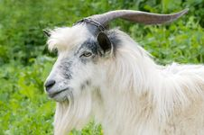 Free Male Goat Grazing Royalty Free Stock Images - 5139819
