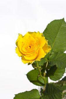 Free Rose Royalty Free Stock Image - 5139846