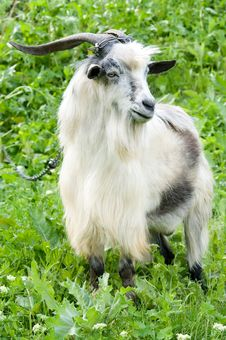 Free Male Goat Grazing Royalty Free Stock Photos - 5139848
