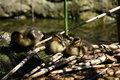 Free Ducks Stock Photography - 5141502