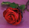 Free Red Rose Of Passion Royalty Free Stock Photography - 5143327