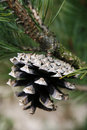 Free Pine Cone Stock Images - 5143414