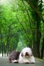 Free English Old Sheepdog Stock Images - 5145424