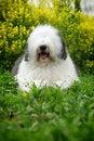 Free English Old Sheepdog Royalty Free Stock Photography - 5146107