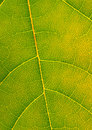 Free Green Leaf Macro Royalty Free Stock Photo - 5147835