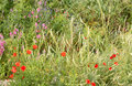 Free Summer Meadow With Red Poppies Royalty Free Stock Images - 5149619