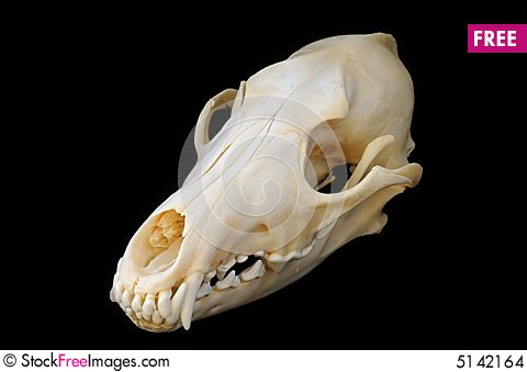 Free Coyote Skull Stock Images - 5142164