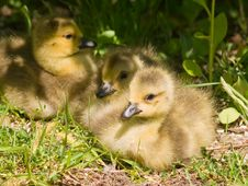 Free Three Goslings Royalty Free Stock Photos - 5140068