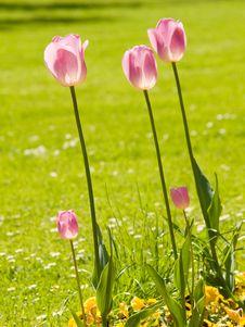 Free Three Tulips Stock Photo - 5140180