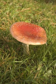 Free Amanita Muscaria- Magic Mushroom Royalty Free Stock Photo - 5140355