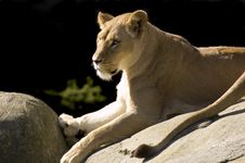 Free Lioness On Rock Royalty Free Stock Photo - 5140415
