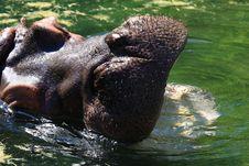 Free Hippo Royalty Free Stock Photo - 5140985