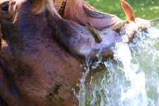 Free Hippo Royalty Free Stock Photos - 5141028