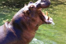 Free Hippo Royalty Free Stock Image - 5141096