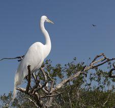 Free Great White Egret Stock Photo - 5141290