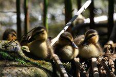 Free Ducks Royalty Free Stock Image - 5141396