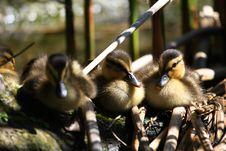 Free Ducks Stock Photos - 5141413