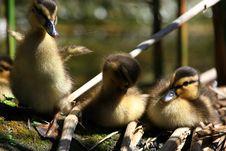 Free Ducks Stock Photos - 5141453