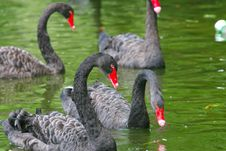 Free Black Swan 7 Stock Photography - 5141992