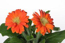 Free Gerber Flower Stock Photos - 5142143