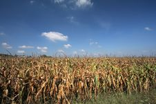 Free Dried Corn Field Royalty Free Stock Image - 5142156