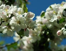 Free Apple Blossoms Stock Image - 5142511
