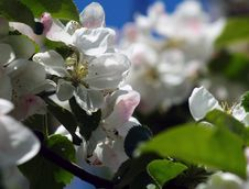 Free Apple Blossoms Stock Images - 5142524