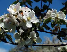 Free Apple Blossoms Royalty Free Stock Image - 5142546