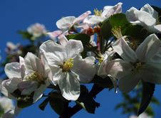 Free Apple Blossoms Stock Images - 5142554