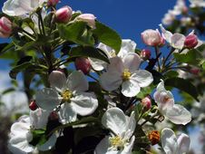Free Apple Blossoms Royalty Free Stock Image - 5142566