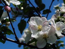 Free Apple Blossoms Stock Photo - 5142610