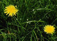 Free Dandelion Stock Images - 5142614