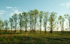 Free Trees In Row On Meadow Royalty Free Stock Photos - 5142728