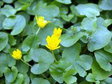 Free Yellow Flowers Royalty Free Stock Photo - 5143415