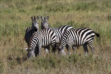 Free Zebras In Africa Stock Photos - 5143853