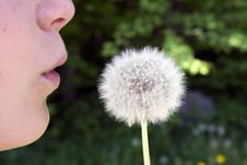 Free Dandelion Royalty Free Stock Photos - 5143858