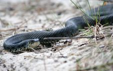 Free Grass-snake Royalty Free Stock Image - 5143866