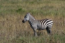 Free Zebra In Africa Royalty Free Stock Photo - 5143935