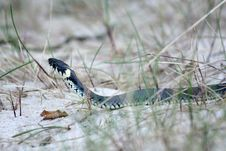 Free Grass-snake Stock Images - 5143994