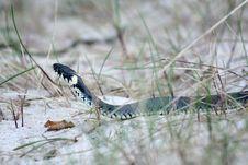 Grass-snake Stock Images