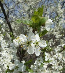 Free Blossoming Cherry Royalty Free Stock Images - 5144049