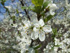 Free Blossoming Cherry Stock Photo - 5144080